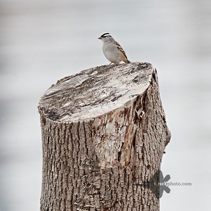 White-Crowned Sparrow_2019-05-11_1