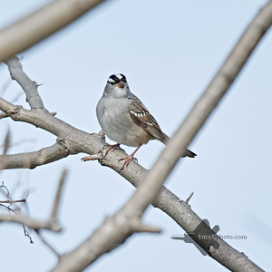 White-Crowned Sparrow_2019-05-18_1