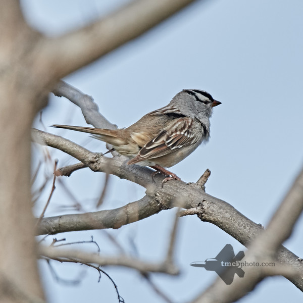 White-Crowned Sparrow_2019-05-18_2