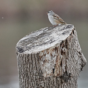 White-Crowned Sparrow_2019-05-11_2
