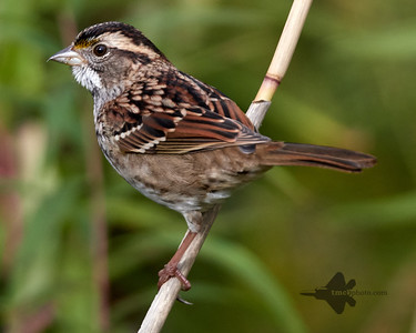 White Throated Sparrow_2019-10-20_1
