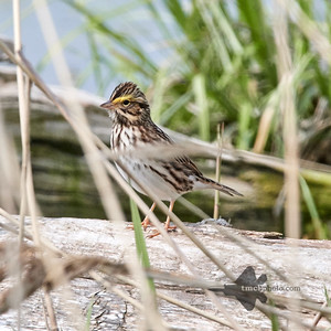 White Throated Sparrow_2019-06-01_1