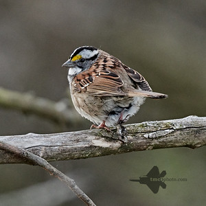 White Throated Sparrow_2019-05-18_1
