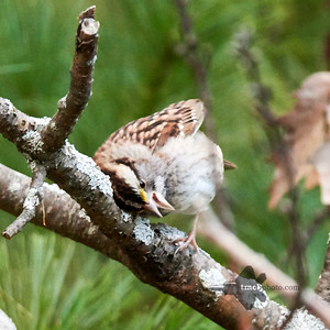 White Throated Sparrow_2019-10-12_3