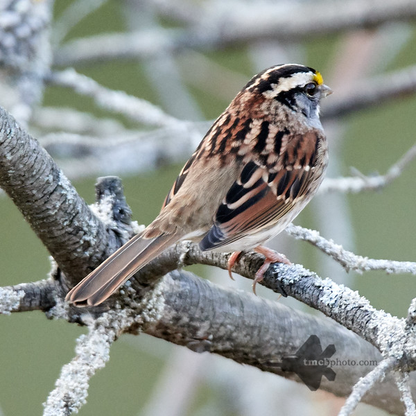 White Throated Sparrow_2019-10-12_2