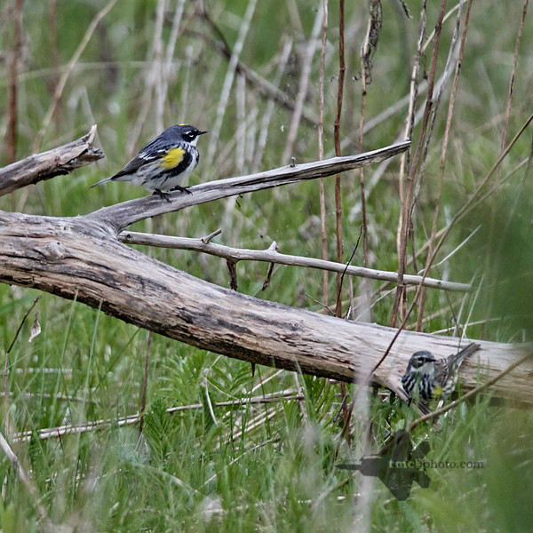 Yellow-Rumped Warbler_2019-05-11_4