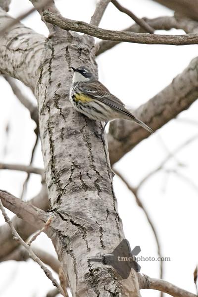 Yellow-Rumped Warbler_2019-05-11_2