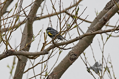 Yellow-Rumped Warbler_2019-05-11_3
