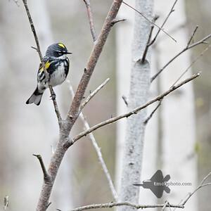 Yellow-Rumped Warbler_2019-05-11_1
