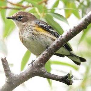 Yellow-Rumped Warbler_2019-09-29_2