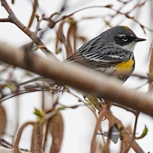 Yellow-Rumped Warbler_2019-05-11_5