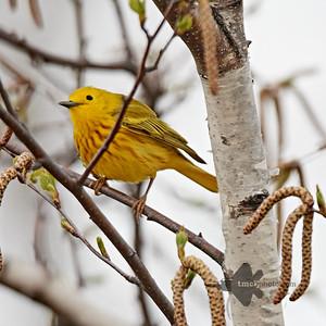 Yellow Warbler_2019-05-11_9