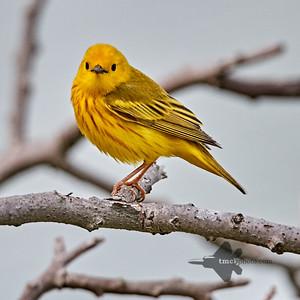 Yellow Warbler_2019-06-09_2