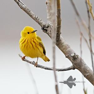 Yellow Warbler_2019-05-11_1