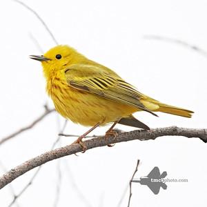 Yellow Warbler_2019-05-11_3