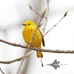 Yellow Warbler_2019-05-11_5
