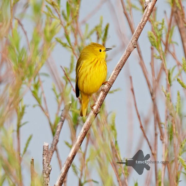 Yellow Warbler_2019-06-01_1