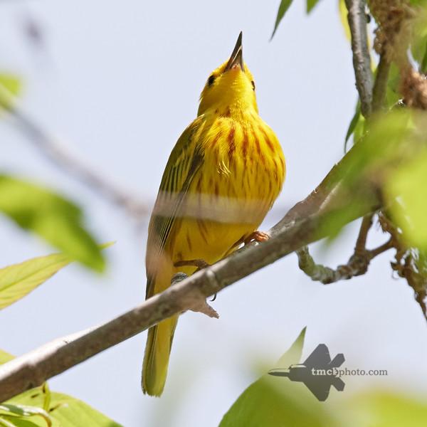 Yellow Warbler_2019-06-02_1
