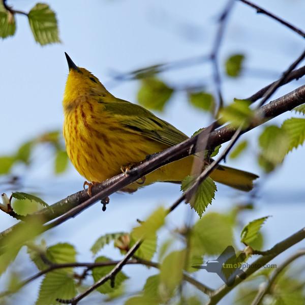 Yellow Warbler_2019-05-18_1