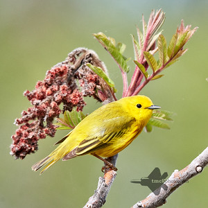 Yellow Warbler_2019-06-01_2