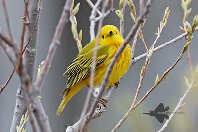 Yellow Warbler_2019-05-11_6
