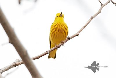 Yellow Warbler_2019-05-11_7