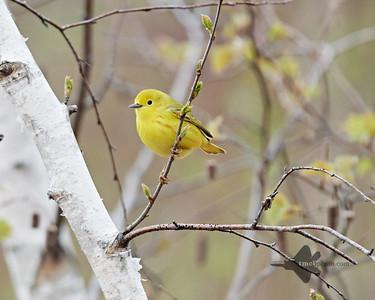 Yellow Warbler_2019-05-11_4
