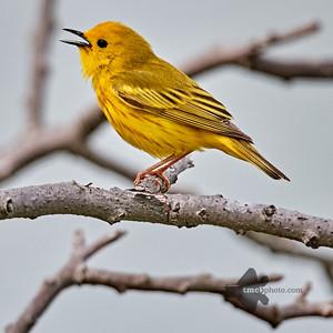 Yellow Warbler_2019-06-09_1