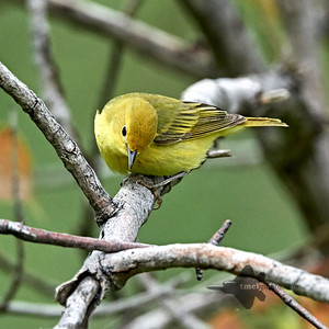 Yellow Warbler_2019-06-02_2