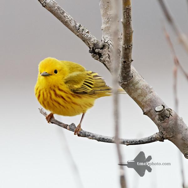 Yellow Warbler_2019-05-11_2
