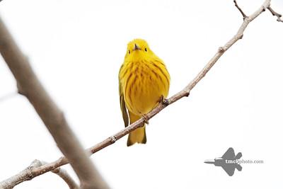 Yellow Warbler_2019-05-11_8
