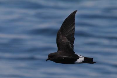 Albatrosses, Petrels and Shearwaters
