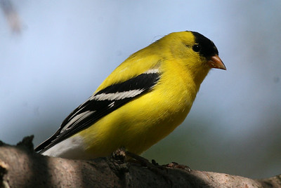 Finches, Grosbeaks and Crossbills