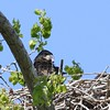 Bald Eagle juv  in nest - Magee Marsh Boardwalk, Lucas, OH - 18 May 2016