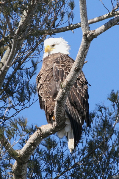 Bald Eagle - Burleigh St, Waterville, ME - 3 March 2011