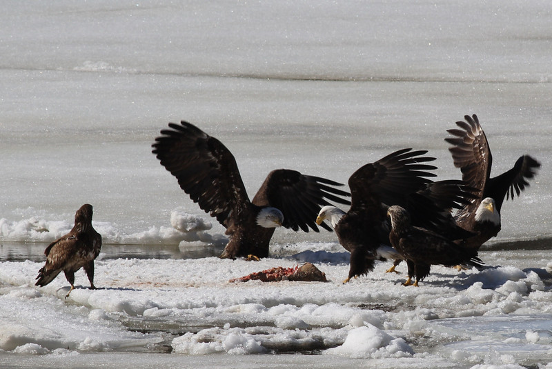Bald Eagles fighting over fish carcass - Eastern River, Dresden, ME - 4 Apr 2014p