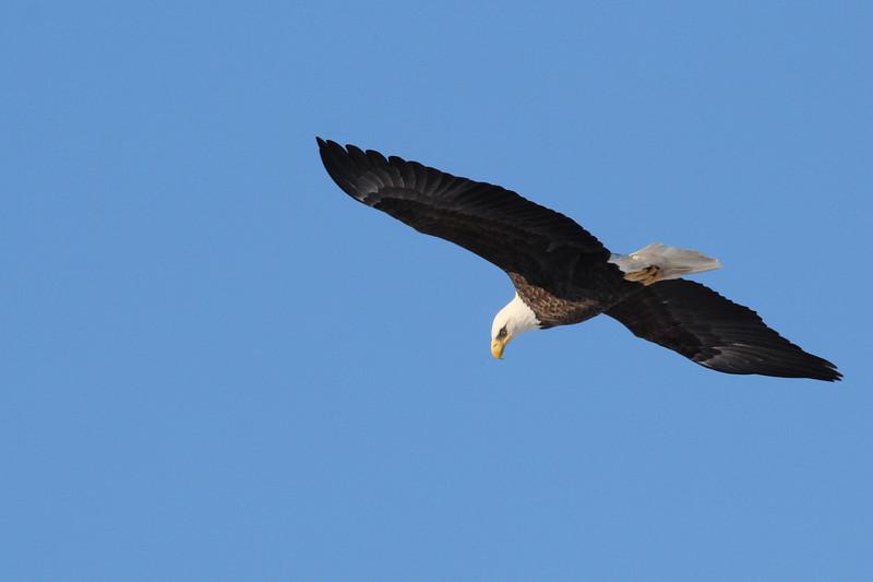 Bald Eagle at Davis Finch's carcass pile -  91 South Rd, East Kingston, NH - 8 Feb 2014