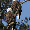 Bald Eagle pair - Burleigh St, Waterville, ME - 2 March 2012a