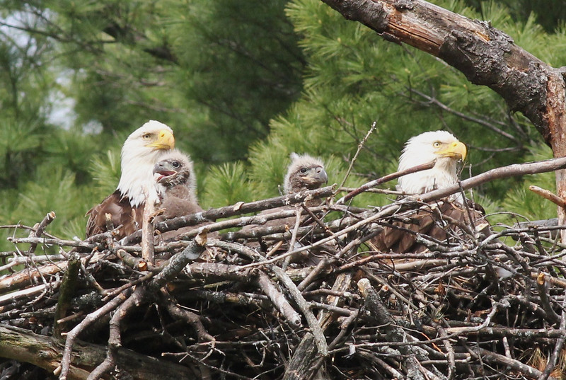 Bald Eagle family - at nest Messalonskee St, Waterville, ME - 15 May 2012c