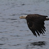 Bald Eagle (imm) - off Vinalhaven, ME - 8 July 2013b