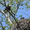 Bald Eagle with juv  in nest - Magee Marsh Boardwalk, Lucas, OH - 18 May 2016b