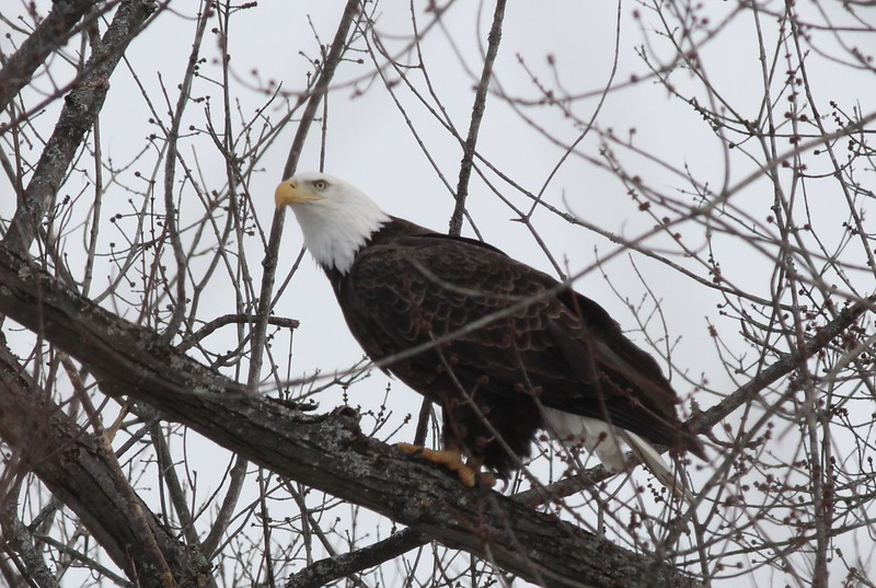 Bald Eagle - stream at Mill Island Park, Fairfield, ME - 17 Feb 2015g