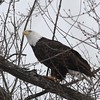 Bald Eagle - stream at Mill Island Park, Fairfield, ME - 17 Feb 2015g
