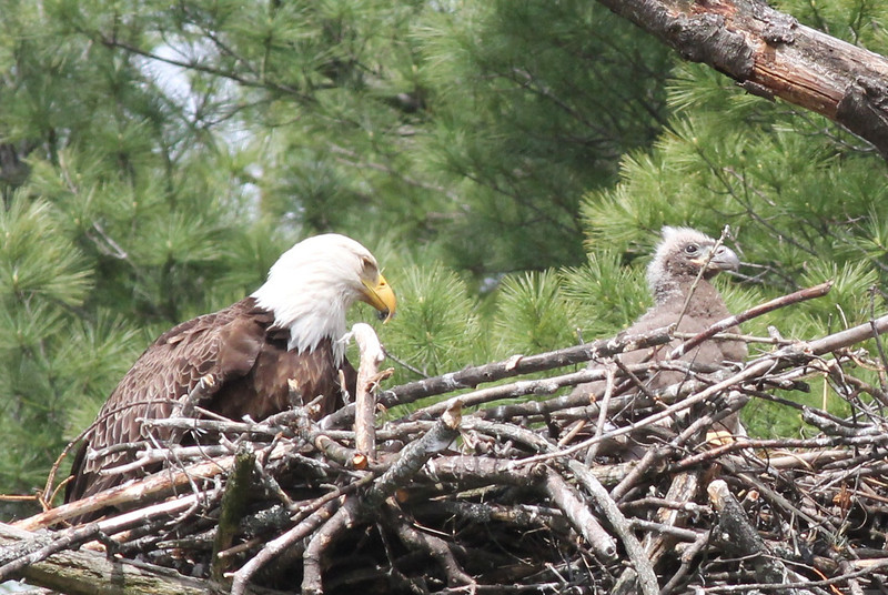 Bald Eagle with chick - at nest Messalonskee St, Waterville, ME - 15 May 2012b