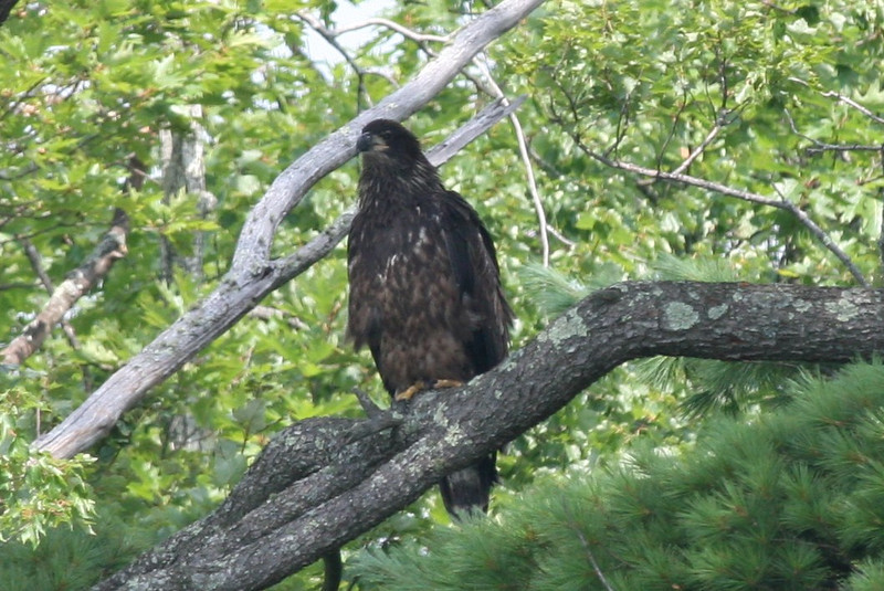 Bald Eagle immature - North Bay, Great Pond, Rome ME - 13 Aug 2011