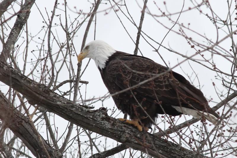 Bald Eagle - stream at Mill Island Park, Fairfield, ME - 17 Feb 2015i