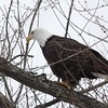 Bald Eagle - stream at Mill Island Park, Fairfield, ME - 17 Feb 2015i