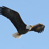 Bald Eagle - river, Green Point WMA, Dresden, ME - 25 Jan 2012c