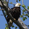 Bald Eagle at nest - Magee Marsh Boardwalk, Lucas, OH - 18 May 2016