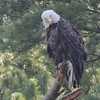 Bald Eagle - at nest Messalonskee St, Waterville, ME - 12 July 2012